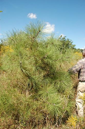 "Norm w/ Ponderosa Pine <a style=""margin-left:10px; font-size:0.8em;"" href=""http://www.flickr.com/photos/91915217@N00/4995252350/"" target=""_blank"">@flickr</a>"