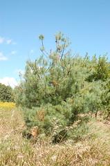 "White Pine, Kind of Spotty <a style=""margin-left:10px; font-size:0.8em;"" href=""http://www.flickr.com/photos/91915217@N00/4997178029/"" target=""_blank"">@flickr</a>"