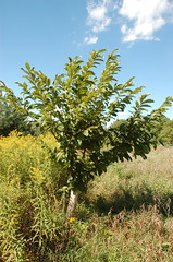 "American Chestnut <a style=""margin-left:10px; font-size:0.8em;"" href=""http://www.flickr.com/photos/91915217@N00/4997784940/"" target=""_blank"">@flickr</a>"