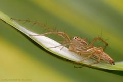 Lynx Spider (Rundstedt B. Rovillos) Tags: macro spider reverselens macrophotography lynxspider nikond200 nikkor1855mm reverselensadapter nikonsb400 diyflashdiffuser rundstedtbrovillos kentuckyfriedchickenplasticbucketlid diykfcflashdiffuser onehandmacroshootmethod kfcdiffuser kuyaerwinsgarden