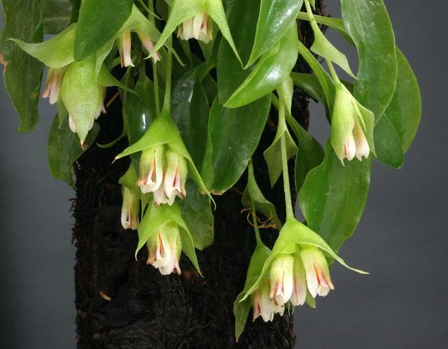 Eurystylis lorenzii aka paranaense