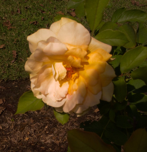 Yellow Rose at Noon
