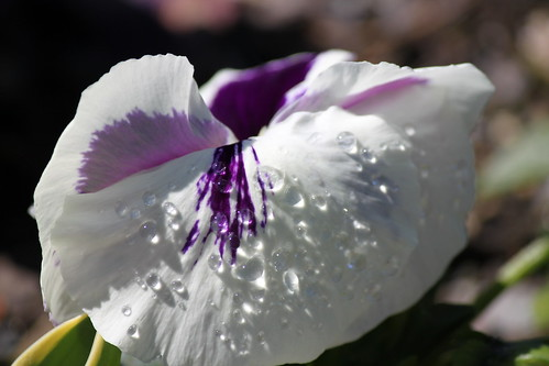 Pansy water