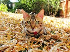 autumn bengal 3 (heartinhawaii) Tags: autumn fall cat bengal
