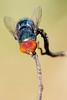 Macro, YEAH!! Mosca varejeira (Gustavo F. Escobar) Tags: macro eyes nikon olhos mosquito inseto mosca 105mm d90 varejeira