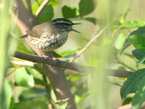 Louisiana Waterthrush 20100919