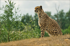 Cheetah, the fastest land animal (Foto Martien) Tags: africa wild holland netherlands dutch animal speed cat zoo kat asia nederland fast safari bigcat afrika cheetah speedy wildcat chita cheeta safaripark noordbrabant dierentuin azi gepard dierenpark hilvarenbeek acinonyxjubatus guepardo safariparkbeeksebergen gupard jachtluipaard ghepardo specanimal a550 fastestlandanimal martienuiterweerd martienarnhem sony70300gssmlens sonyalpha550 fotomartien snelstelanddier