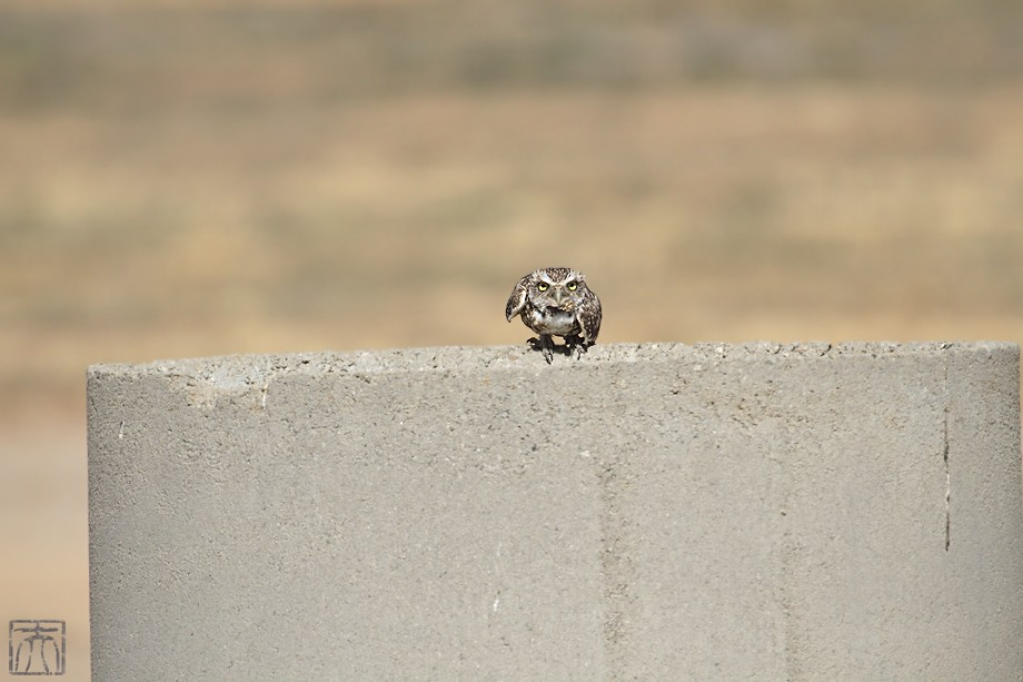 Burrowing Owl o091910