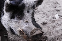 A real boar....