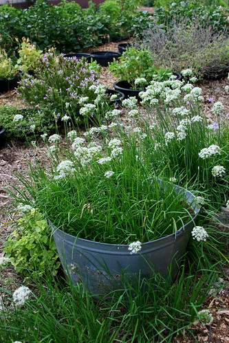 school garden garlic chives