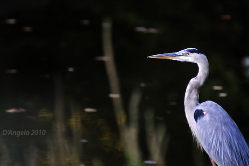 Great Blue II