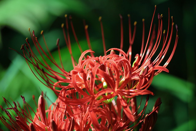 cluster amaryllis? red spider lily?