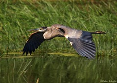 Grand Hron / Great Blue Heron (Eric Bgin) Tags: bird heron nature wildlife olympus ornithology oiseau greatblueheron naturesfinest sigma135400mm ornithologie grandhron supershot specanimal specanimals specanimalphotooftheday e520 grandheron ericbegin