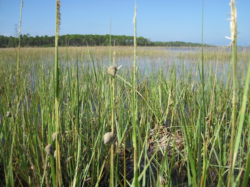 More snails climbing on cordgrass reproductive stems