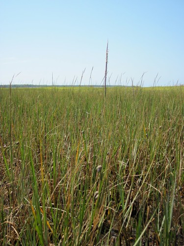 Marsh periwinkles climbing on a cordgrass reproductive stem