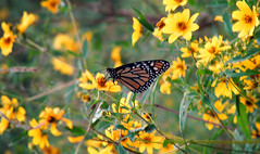 hanging around (bdaryle) Tags: flower nature yellow butterfly petals wings sony flor hangingaround monarchbutterfly brandondaryle bdaryle imagesbybrandon