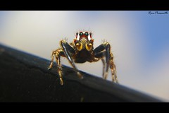 Jumping Spider (FLASH MEDIA CREATIONS) Tags: pictures wild india macro nature birds animals advertising photography spider amazing interesting nikon pics fashionphotography wildlife creative insects micro ram tamilnadu jumpingspider coimbatore designing professionalphotography foodphotography cbe productphotography prasanth fmc industrialphotography umping advertisingphotography ramprasanth jewelleryphotography photographycompany designinglogo flashmediacreations productphotographyincoimbatore industrialphotographyincoimbatore professionalphotographysolutions photographyprintinglogo coimbatoreweb ramprasanthphotography