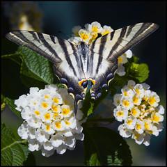 Iphiclides podalirius (Pilar Azaa Taln ) Tags: butterfly mariposa podalirio abigfave 100commentgroup pilarazaa chupalecheiphiclidespodalirius plantaflorlantana peregrino27macro