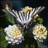 Iphiclides podalirius (Pilar Azaña Talán ) Tags: butterfly mariposa podalirio abigfave 100commentgroup pilarazaña chupalecheiphiclidespodalirius plantaflorlantana peregrino27macro