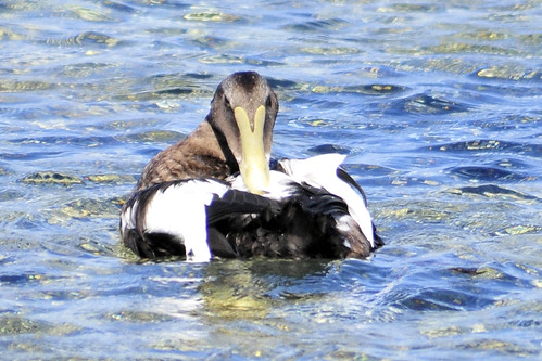 weirdly ugly eider two