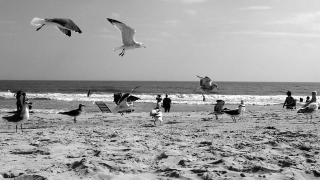 gulls b/w