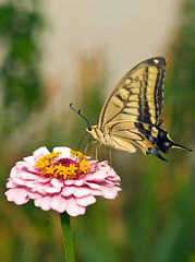 Swallowtail On Pink Zinnia (aeschylus18917) Tags: pink flowers flower macro nature yellow japan butterfly insect nikon g flight lepidoptera micro 日本 zinnia nikkor 花 prefecture nagano f28 vr swallowtail pxt papilio ueda naganoprefecture 105mm insecta 105mmf28 papilionidae naganoken papiliomachaon zinniaelegans チョウ papilionoidea oldworldswallowtail 長野県 asterales アゲハチョウ 別所温泉 heliantheae papilionini besshoonsen 長野市 papilioninae 105mmf28gvrmicro 上田市 d700 nikkor105mmf28gvrmicro naganoshi キアゲハ ダニエル danielruyle aeschylus18917 danruyle druyle uedashi ルール ダニエルルール