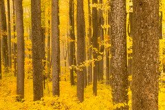Shenandoah Golds (Phijomo) Tags: autumn trees nature forest landscape outdoors virginia woods fallcolor foliage golds shenandoah shenandoahnationalpark ef24105mmf4lisusm canoneos5dmarkii phijomo philipjmonahan