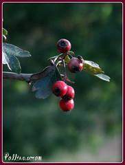 Mosca...dispettosa (pallino.Ocram) Tags: autumn red bokeh autunno bacche rosso canong10 pallinoocram
