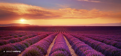 France - Provence - Lavender Fields (Jarrod Castaing) Tags: landscape travel jarrodcastaing wwwjarrodcastaingcom sunset lavender fields valensole provence france sun sky purple agriculture angustifolia aroma aromatherapy art awards background bloom castaing clouds color colorful countryside crop de dramatic england epson europe evening farming field fine flora flower harvest herb jarrod lavandula mauve moody natural nature outdoors outside pano panorama panoramic plant plateau print scenery scenic scent season stormy summer vibrant violet vivid western world