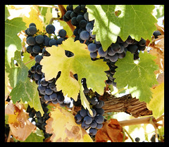 Grapes on the vine (RVWithTito) Tags: vineyard wine grape columbiavalley
