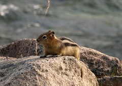 Golden-mantled Ground Squirrel-Maligne Valley Road AB (moelynphotos) Tags: park canada nature animals landscape mammal rodent squirrel scenery wildlife lakes jaspernationalpark groundsquirrel goldenmantledgroundsquirrel moelynphotos malignevalleyroad