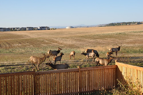 Herd of Elk Outside the House