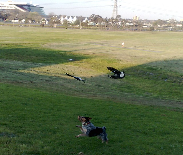 Magpies causing trouble, swooping the dog
