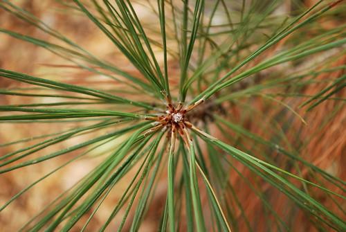 pine starburst