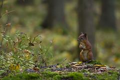 0703 (P. Koskela) Tags: autumn cute animal standing forest squirrel funny bokeh orava ekorre ecureuil