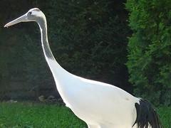 Gru della Manciuria (Grus japonensis) (Luigi Strano) Tags: birds animals uccelli animali gru  redcrownedcrane grusjaponensis grudellamanciuria
