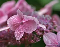 Pink Hydrangea Macro (janruss) Tags: pink flower macro floral hydrangea theunforgettablepictures 100commentgroup theperfectpinkdiamond saariysqualitypictures janruss janinerussell