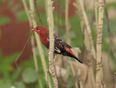 Untitled [Explored] [Canon 1000D XS REBEL] [ Canon 70 200 F4] [red munia] [red avadavat] (Mayur Kotlikar) Tags: bird up canon rebel is interesting kiss close scout explore f 200 l xs non 70 f4 amandavaamandava redavadavat strawberryfinch explored redmunia 1000d