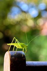 Röportaj / Interview (Atakan Eser) Tags: green nature bug insect grasshopper yeşil böcek doğa tabiat börtü çekirge dsc5026