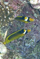 Tabak Falterfisch, NGIDn73613039 (naturgucker.de) Tags: chaetodonfasciatus tabakfalterfisch gypten naturguckerde cchristophbausch sharmelsheikhriffzwischenreefbeachunddreambeach ngidn73613039