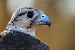 Falcon ( [ Libya Photographer ]) Tags: falcon libya