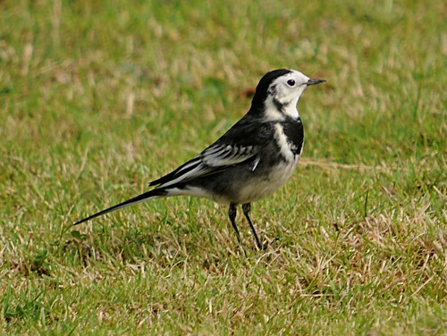 piedwagtail2