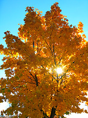 Yellow autumn leaves (TinaOo) Tags: autumn sky tree leaves sunshine