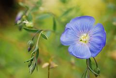 Virág - Flower (Adam Tomkó) Tags: blue flower virág fony zemplén kék