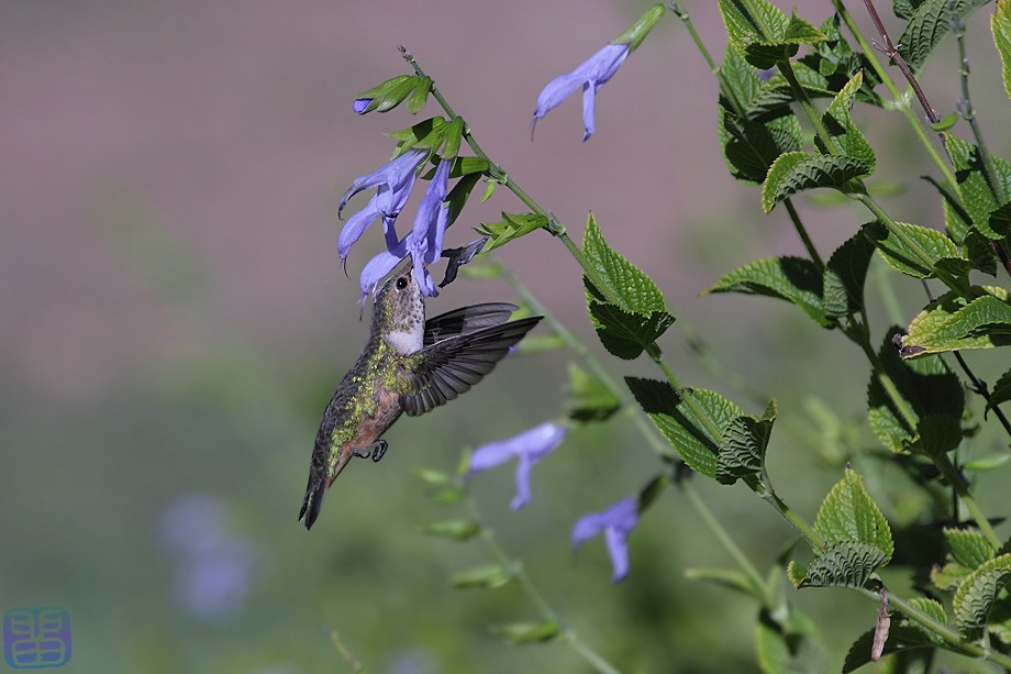 Allen's Hummingbird 0910100