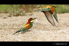 European Bee-eater (Merops apiaster) (suhaaz Kechery) Tags: