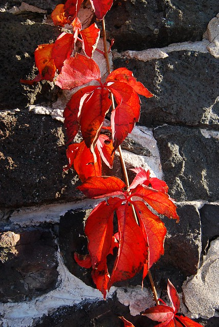 Red leaves on a vine, climbing on a stone wall.