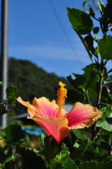 Hibiscus from Takedao (Sciby) Tags: flower japan takedao