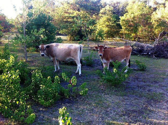 Two of Jerry & Carol's cows