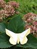 Lafosse Butterfly